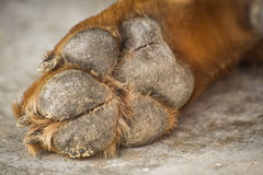 Hundfot och ben Arkivbild