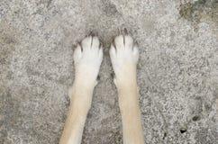 Hundfot på golvet Arkivfoto