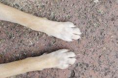 Hundfot på golvet Royaltyfri Foto