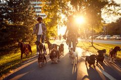 Hundfotg?ngare p? arbete Hundfotgängaren som går med hundkapplöpning i, parkerar royaltyfri bild