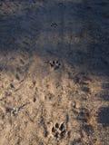 Hundfotspår i sand på skogsmarkvägen Royaltyfria Foton