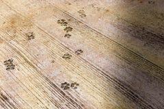 Hundfotspår på den konkreta tjock skiva för ensemble Tjock skiva som visas många hundfoten, spårar på den royaltyfria foton