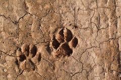 Hundfotspår på jorden Arkivfoto