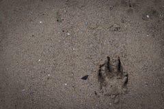 Hundfotsp?r i sanden royaltyfri fotografi