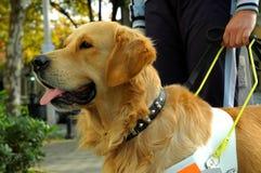 hundframsida för 2 assistent Royaltyfria Bilder