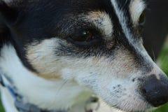Hundframsidan tjaller gullig terroir Arkivfoto