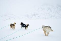 hundgreenland åka släde tur Arkivbilder
