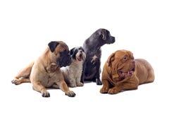 hundgrupp Royaltyfria Bilder