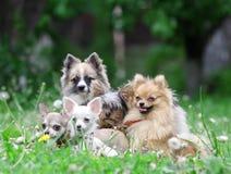 hundgrupp Royaltyfri Bild