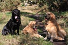 hundgruppretrievers tre royaltyfri fotografi