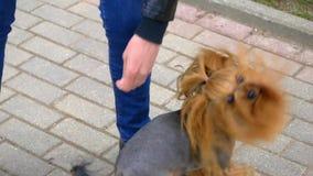 Hundhäl fram och tillbaka mellan ben stock video