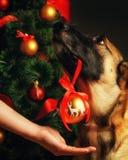 Hundhjälp dekorerar julgranen arkivbild