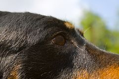Hundhuvud Arkivfoton