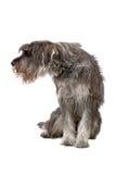 hundjätteschnautzer royaltyfri bild