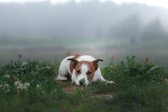 HundJack Russell terrier utomhus royaltyfri bild