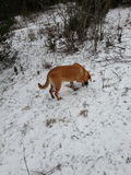 Hundjakt i ett snöig fält Arkivfoto