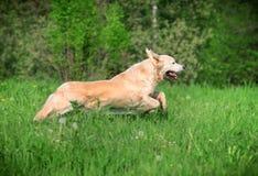 hundkörningar Fotografering för Bildbyråer