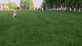 Hundkörningar på det gröna gräset stock video