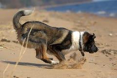 Hundkörningar på stranden royaltyfri bild