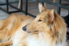 Hundkafé, stående av collien Royaltyfri Foto
