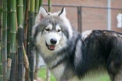 Hundkafé, stående av Siberian skrovligt Royaltyfria Bilder