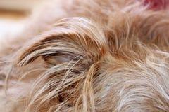 Hundkapplöpningöra och päls Royaltyfria Foton