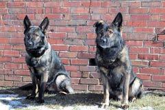 Hundkapplöpning 49 Arkivbilder