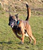 Hundkapplöpning 102 Fotografering för Bildbyråer
