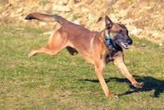 Hundkapplöpning 103 Royaltyfri Bild