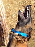 Hundkapplöpning 103 Royaltyfria Foton