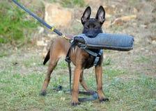 Hundkapplöpning 106 Arkivfoton
