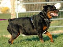 Hundkapplöpning 141 Royaltyfria Foton