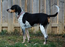 Hundkapplöpning 210 arkivfoton