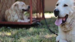 Hundkapplöpning asiatiska herdar som vilar royaltyfria bilder