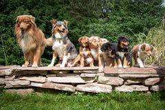 Hundkapplöpning australisk herde i stående med valpar fotografering för bildbyråer