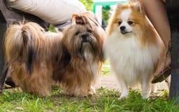 Hundkapplöpning av olika avel Arkivbild