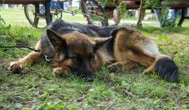 Hundkapplöpning av olika avel arkivfoton