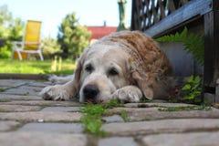 Hundkapplöpning - en stor ledsen hund Royaltyfri Fotografi