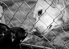 Hundkapplöpning förälskelse Royaltyfri Fotografi