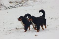 Hundkapplöpning för Bernese berg på snö arkivfoto