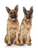 Hundkapplöpning för tysk herde royaltyfri bild