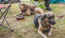 Hundkapplöpning i en campa dag royaltyfria foton