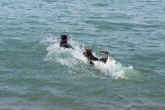 Hundkapplöpning i en färgstänk av vatten som springer för att hämta en boll Arkivfoto