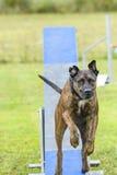 Hundkapplöpning i en vighetkonkurrens arkivbild