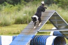 Hundkapplöpning i en vighetkonkurrens Royaltyfri Foto