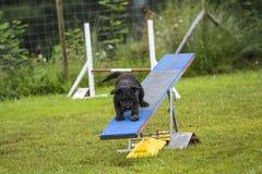 Hundkapplöpning i en vighetkonkurrens arkivfoton