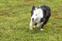 Hundkapplöpning i en vighetkonkurrens Royaltyfria Foton