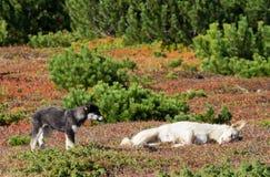 Hundkapplöpning i ett färgrikt landskap royaltyfria foton