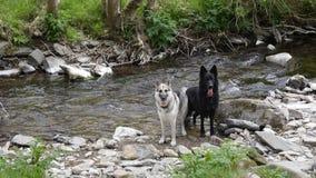 Hundkapplöpning i floden Arkivbilder