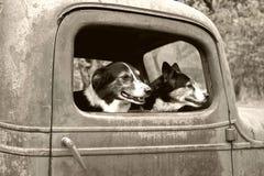 Hundkapplöpning i gammal lastbil Arkivbilder
